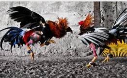 Sabung ayam teraman
